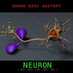 c4d neuron anatomy