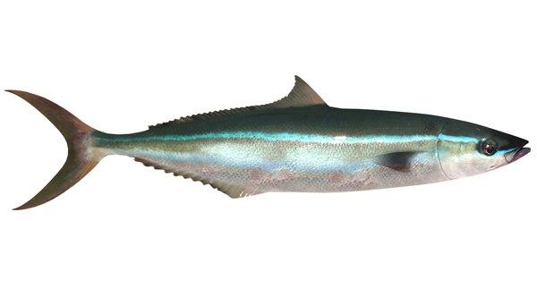 3d rainbow runner yellowtail salmon model