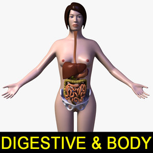 3d female body digestive systems model