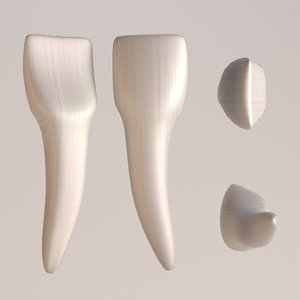 3d central incisor model