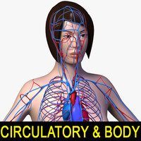 female body circulatory 3d model