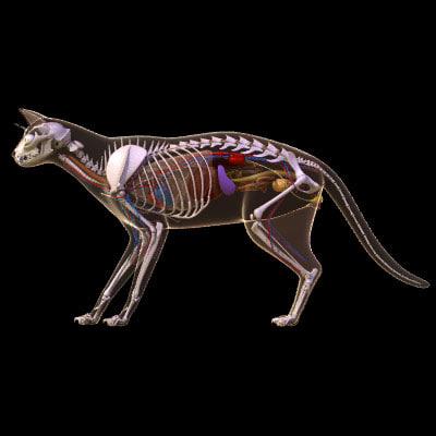 lwo cat anatomy