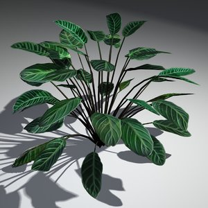 3d model modeled calathea zebrina plant