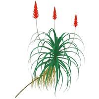 3d krantz aloe plants arborescens