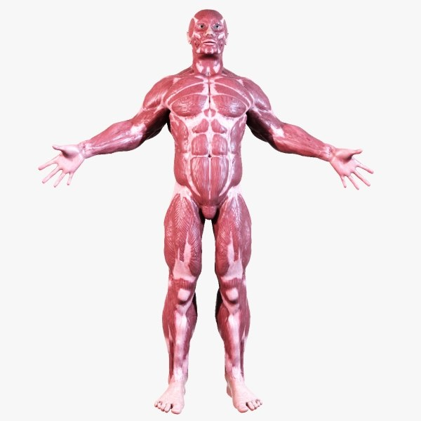 muscular anatomy 3d model, Muscles