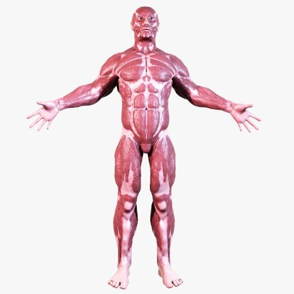 human muscular anatomy 3d model, Muscles