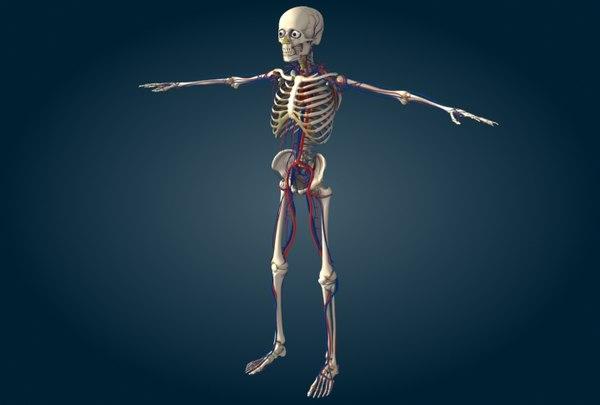 human circulatory max