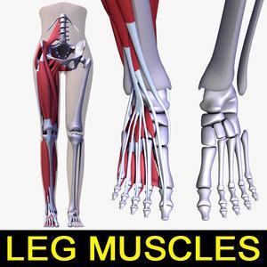 3d human leg muscles female body