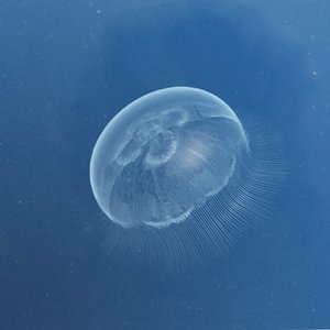 3d model jellyfish aurelia