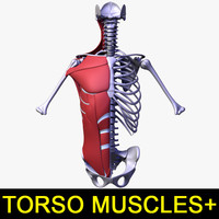 Torso muscles of the human body