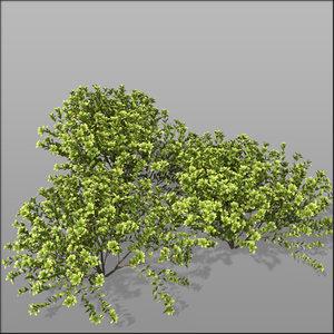3d euonymus shrubs hedge model