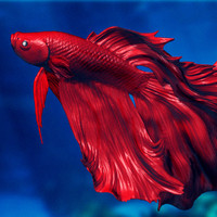 3ds siamese fighting fish