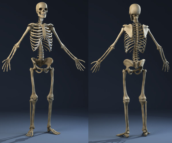 realistic skeleton anatomy male man max