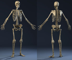 realistic skeleton anatomy male man max