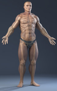 3d model of realistic anatomy skeleton skin