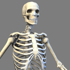 realistic skeleton anatomy max