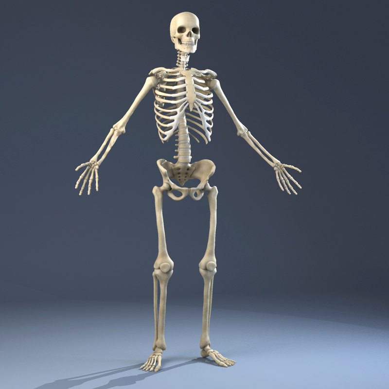 3d Model Of Realistic Anatomy Skeleton Skin