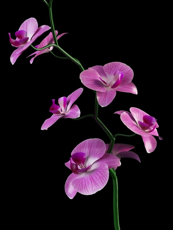 max orchid flower