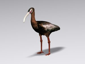 3ds white faced ibis