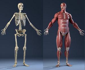 3d model realistic anatomy skeleton muscles