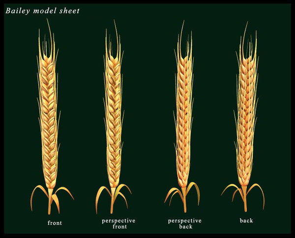 maya barley wheat