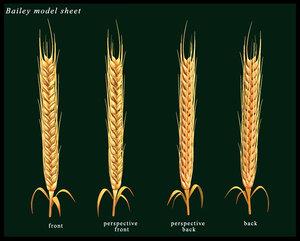 maya barley wheat
