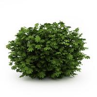 JapanAralia (Fatsia japonica)