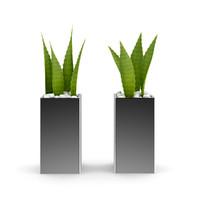 Double Aloe Plant