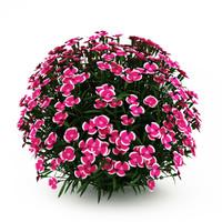 Alpine Pink (Dianthus)
