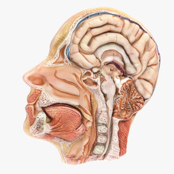 human head lateral slice 3d model