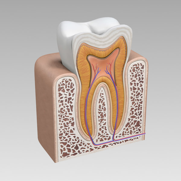 3d tooth cross section