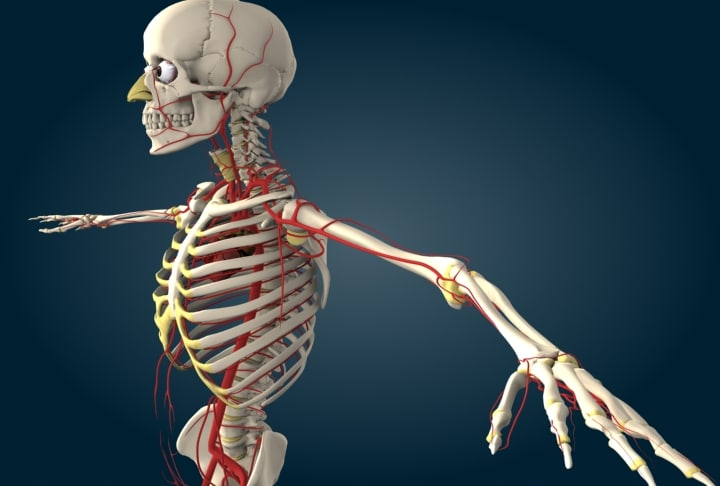 human circulatory 3d model