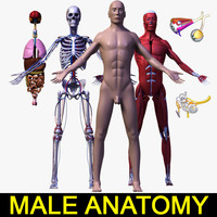 lwo human male body anatomy