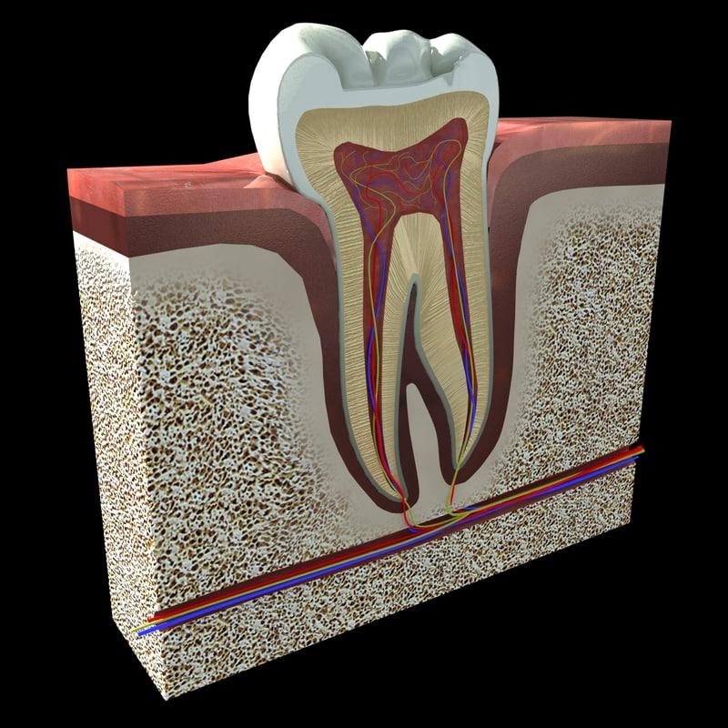 Tooth Cross Section 3d 3ds
