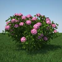 3d hydrangea macrophylla model