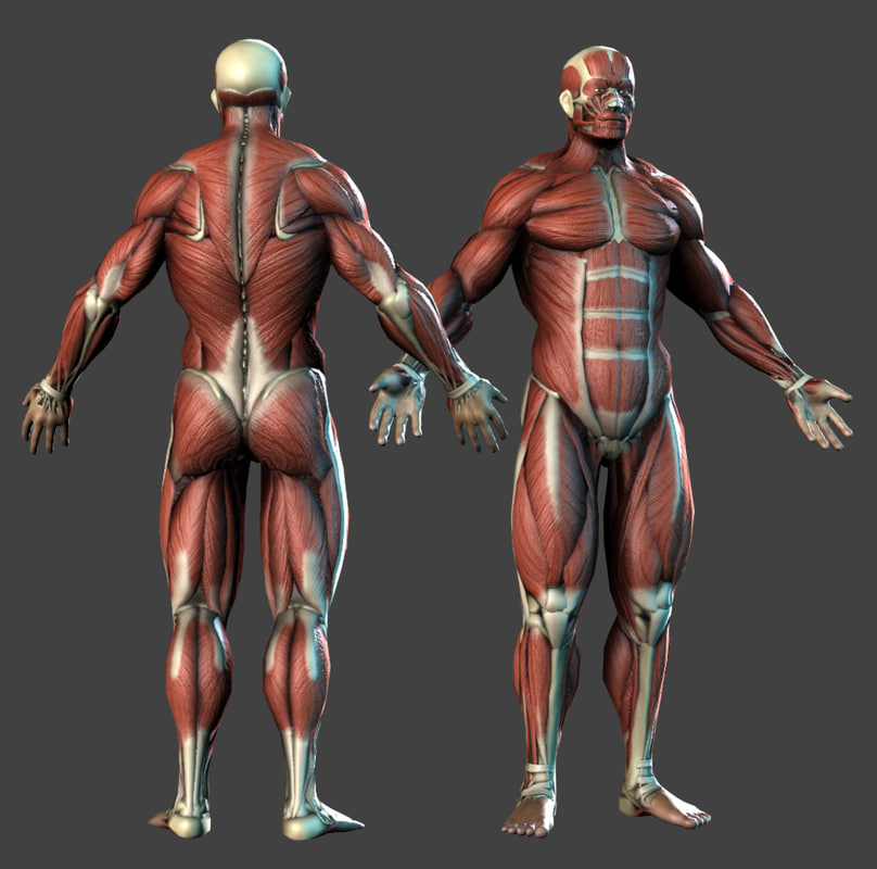 realistic anatomy muscles bones max
