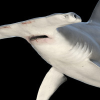 maya great hammerhead shark