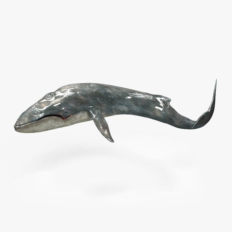 3d blue whale balaenoptera musculus model