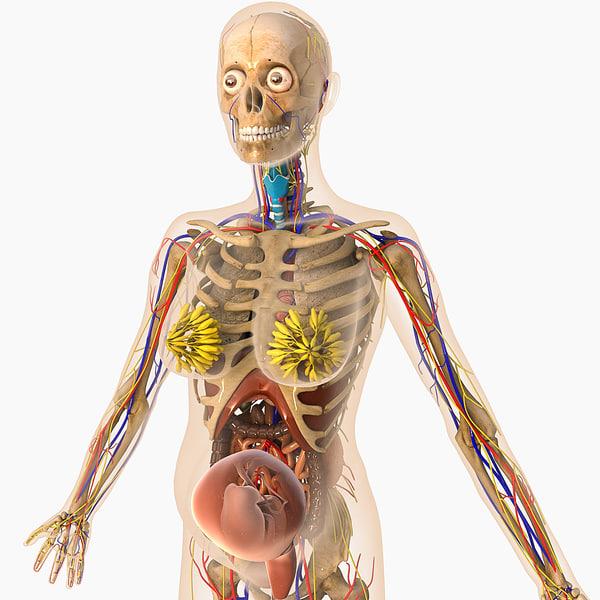digestive female 3d model