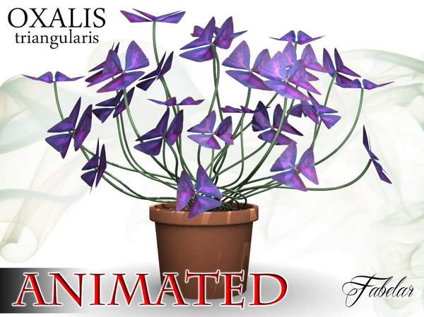 3d oxalis triangularis