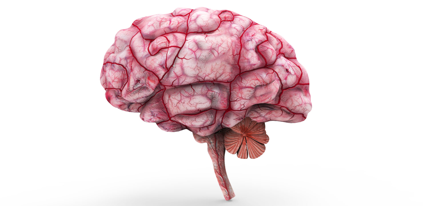 brain anatomy 3d model