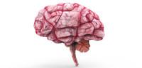 brain anatomy 3d model