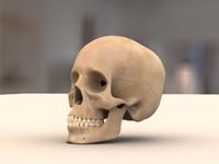 3d model of human skull teeth