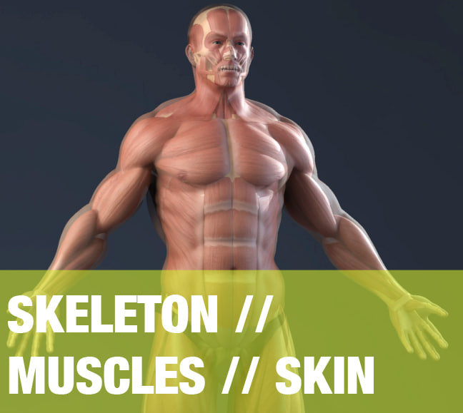 max realistic anatomy skeleton muscles