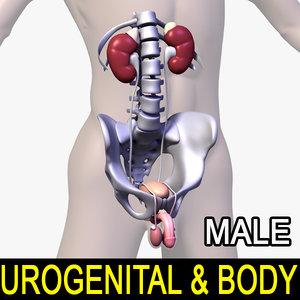 human male body urogenital 3d model