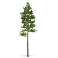 3ds max pine