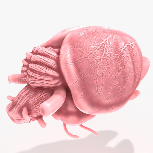 c4d rat mouse brain