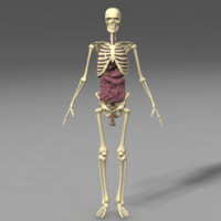 anatomy skeleton internal organs 3d model