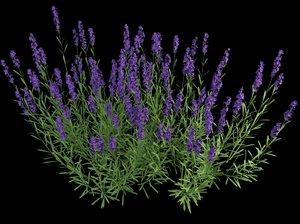 lavandula lavender 3d max