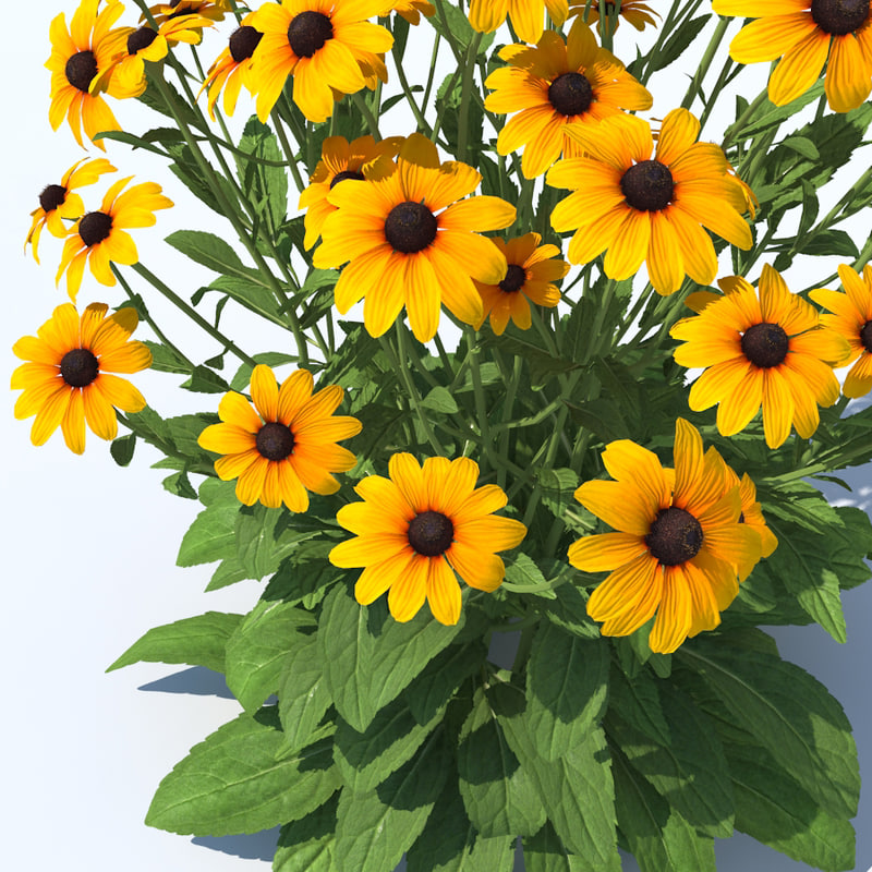 black-eyed susan flower plants 3d max